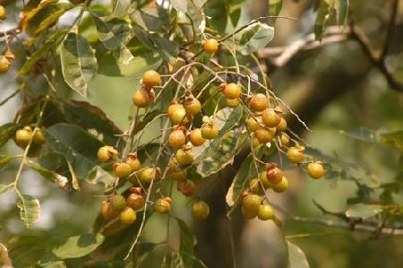 kelet-azsiai-szappanfa-sapindus-mucorossi