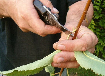 gyumolcsfa-szemzese