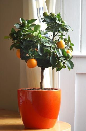citrusfa