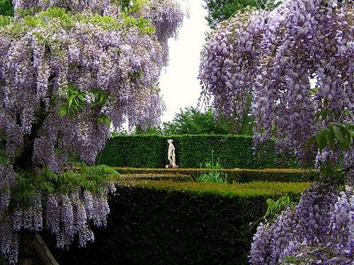sissinhurst-wisteria