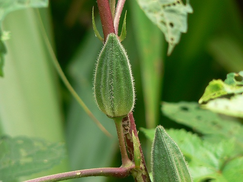 hibiscus-esculentus-okra