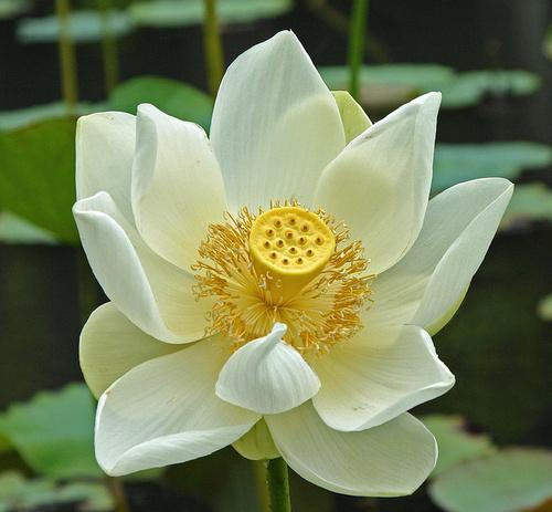 feher-lotuszvirag