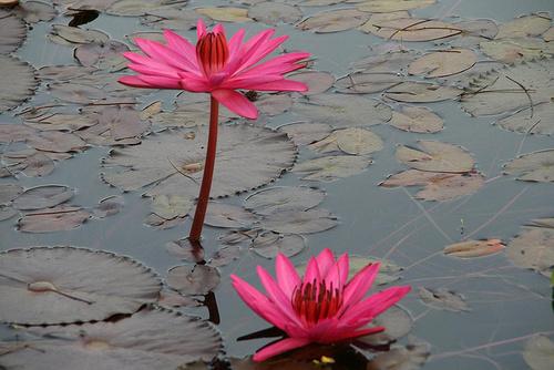 szines-lotusz