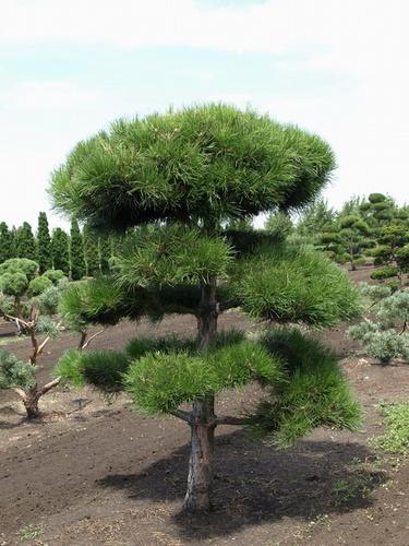 pinus_nigra_bonsai
