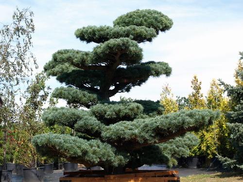 pinus_parviflora_-_japn_fehrfeny337