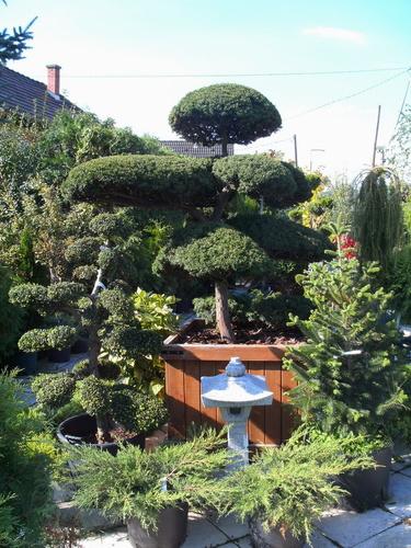 taxus_cuspidata_s_ilex_crenata_bonsai