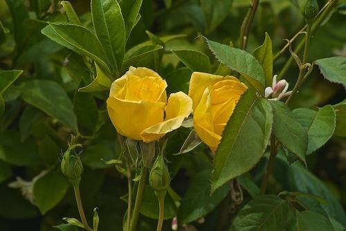 rozsa-viragzas