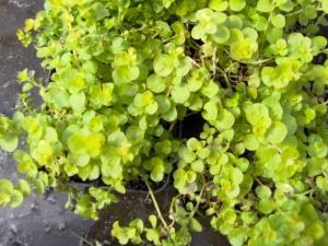 lysimachia-numularifolia-aurea