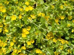 lysimachia-numularifolia