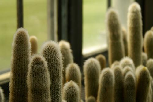 kaktuszok-ablakban