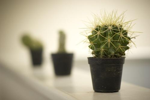 kaktusz-parkany