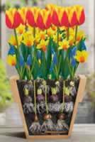 tulipan-keresztmetszet