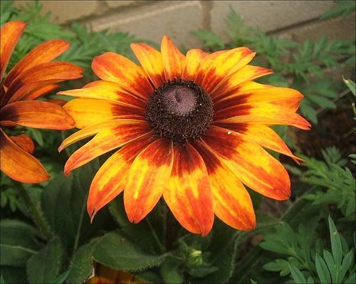 rudbeckia-hirta-autumn-color