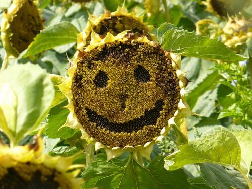 napraforgo-smiley