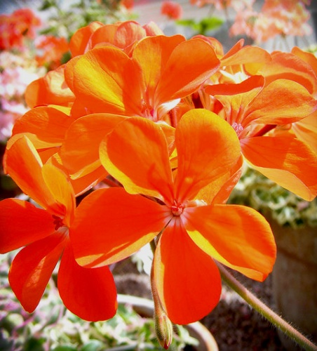 narancssarga-muskatli