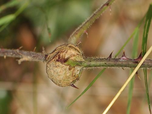 lasioptera-rubi