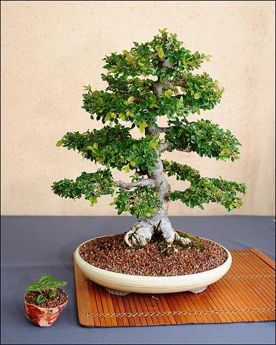 egeszseges-bonsai