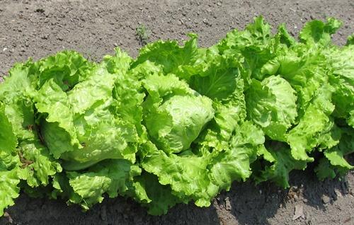 fejes-salata
