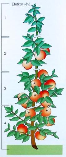 almafa-eletkor