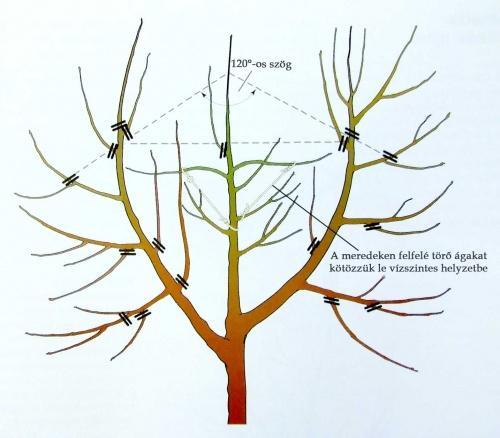 almafa-metszese
