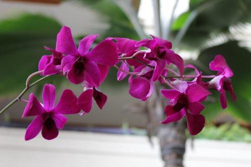 hawaii-virag