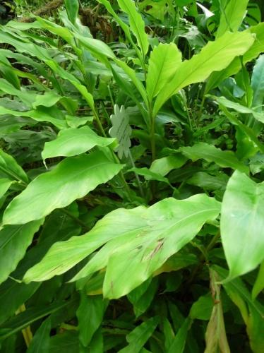 elettaria-cardamomum-malabari-kardamom