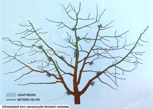 cseresznyefa-fenntarto-metszese