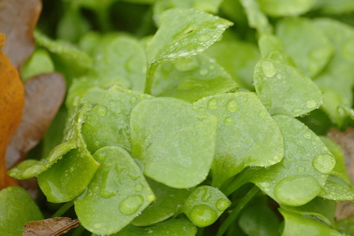 teli-porcsin-claytonia-perfoliata