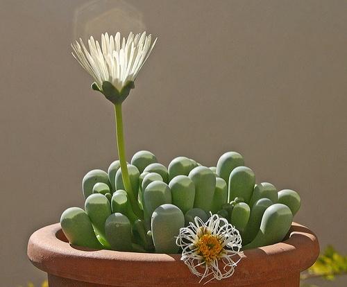 fenestraria-rhopalophylla-feher-ablakvirag