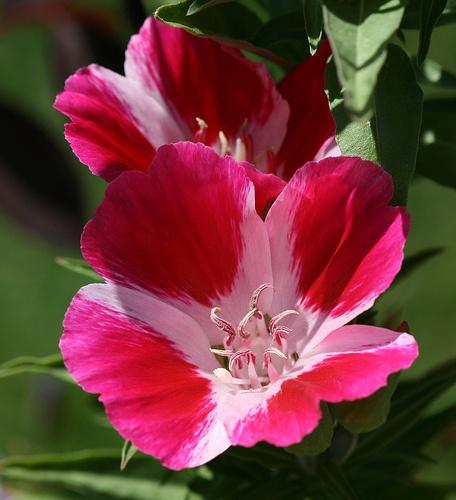 godetia-tunderkurt-nyari-azalea