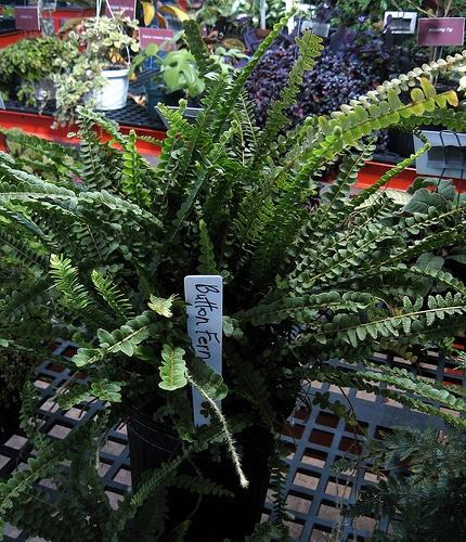 kereklevelu-sziklaipafrany-pellaea-rotundifolia