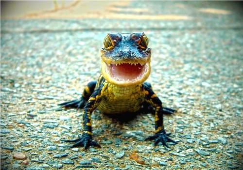 aligator-baby