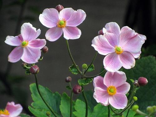 anemone-hupehensis