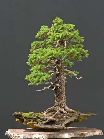 bonsai-fa-sziklan