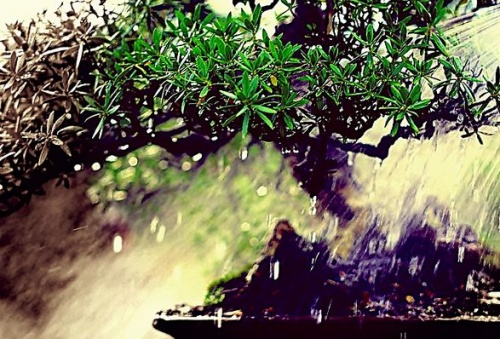 bonsai_ontozese2