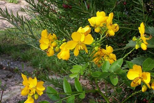 cassia-corymbosa