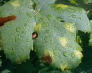 Eső után támad a szőlőben a peronoszpóra