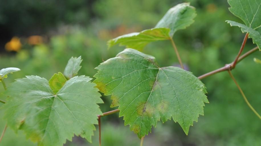 Peronoszpóra.. az én szőlőmön?