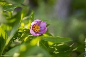Az erdei ciklámen és a bánáti bazsarózsa - védett növényeink