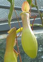 Melyik szobanövény fogyaszt két legyet egy falásra?