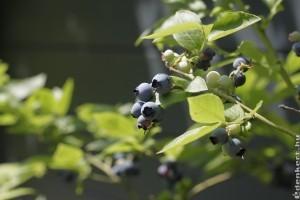 Áfonya termesztése kiskertben