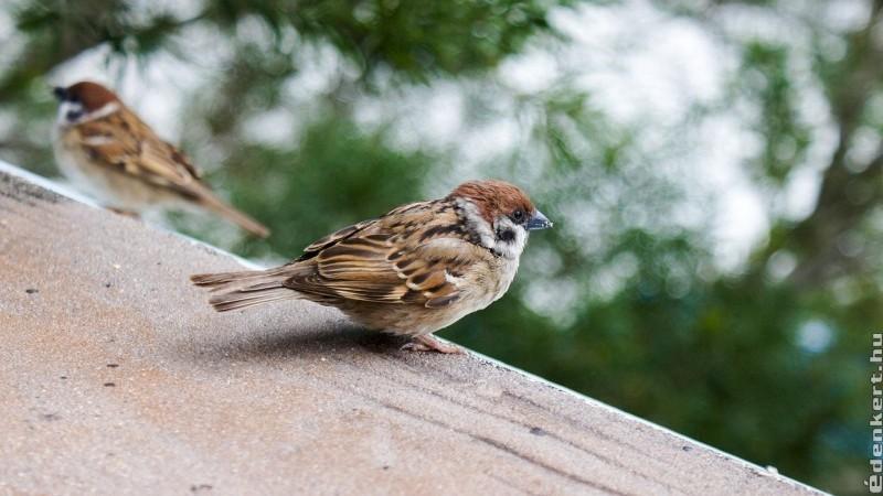 Ne zavard el: a veréb is hasznos madár!