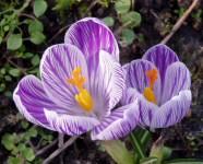 Tavaszi hagymás virágok, szeretünk titeket!