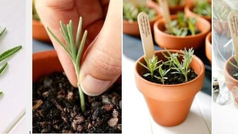 Fűszernövények szaporítása otthon, 6 lépésben