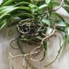 Orchidea otthoni tőosztása 4 lépésben