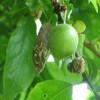 A szilva tavaszi betegsége: a bábaszilva