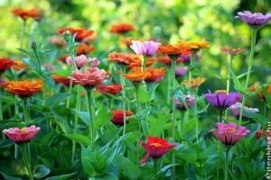 Kedvencünk, a rézvirág (Zinnia)
