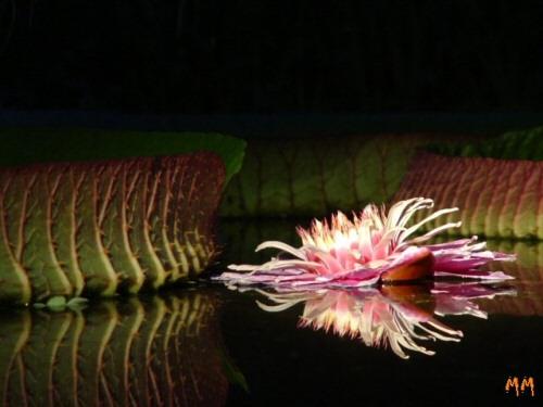 Virágzik a Füvészkert óriás-tündérrózsája!
