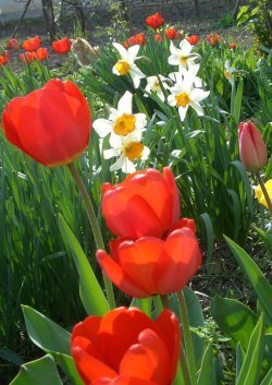 LAST MINUTE: most ültess tulipánt, jácintot, nárciszt!