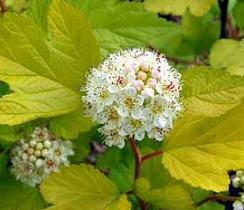 hólyagvessző-virága